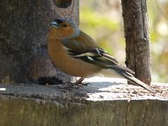 Alert (Lexie's Mum) Tags: walks walking coombecountrypark coombe coombeabbey warwickshire nature spring bird birds wildlife wildfowl waterfowl chaffinch