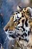 Amur Tiger - Chewy (zyrcster) Tags: amurtiger chewie cheyennemountainzoo