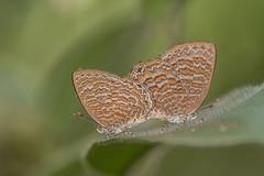 "Poritia sumatrae sumatrae (The Sumatran Gem) • <a style=""font-size:0.8em;"" href=""http://www.flickr.com/photos/61192193@N05/35151935771/"" target=""_blank"">View on Flickr</a>"