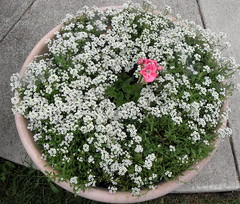 Sweet alyssum with pink geranium (honestabby) Tags: geranium alyssum