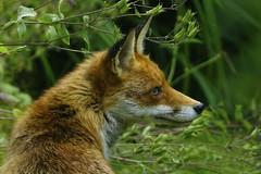 _DSC6186 - Red Fox (steve R J) Tags: red fox dads garden rayleigh essex mammals british