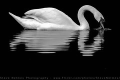 Mute Swan (Steve Nelmes Photography) Tags: cameragear canon14xteleconverter canon1dx waterbird muteswan birds stevenelmesphotography avian canon100400ismk2 animal feathered nature wildanimal wildbird wildlife