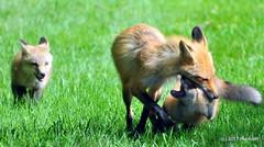 DSC_0780 (rachidH) Tags: fox renard vulpes foxcub renardeau redfox renardroux vulpesvulpes backyard frontyard wildlife sparta newjersey nj rachidh nature