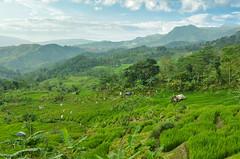Sawah (Vicky Ming Alditiara) Tags: bogor indonesia nikon d7000 tokina1224 tokina hdr landscape outdoor padi rice ricefield sawah gunung mountain sentul babakan babakanmadang bukit