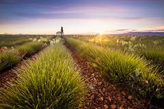 Sunrise In Lavender Fields [EXPLORED] (jpmiss) Tags: provence paysage sunrise verdon landscape nature lavande 6d valensole jpmiss canon lavenderfileds 1635mm leverdesoleil provencealpescôtedazur france fr sunburst sunflare photopills