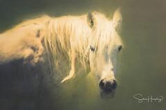 The Mane Event (HLazyJ - Susan Humphrey) Tags: horse arabian gray equine portrait painting paint photobased ©susanhumphrey