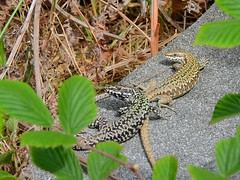 Common Wall Lizard (Podarcis muralis) (Nick Dobbs) Tags: common wall lizard podarcis muralis reptile introduced nonnative dorset cliffs
