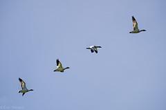 Flying snow geese (CarlJF) Tags: captourmente goose geese snow white fly flying snowgeese flight migration bird wildlife