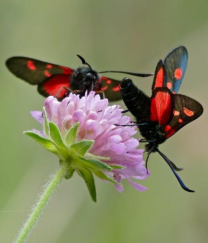 "Six-Spot Burnets (Zygaena filipendulae) ""5-spots form"""