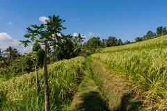 IMG_0624 (Ela&Piotr) Tags: bali indonesia indonezja jatiluwih ricefields