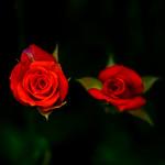 Miniature Rose : ミニバラ thumbnail