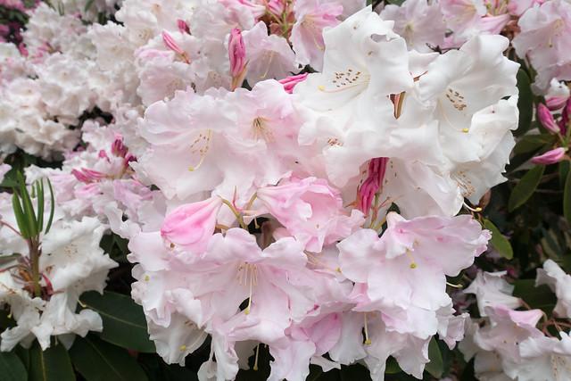 アザレアの花言葉 赤・紫・ピンク・白など色別の意味