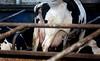 pawu040 (Otwarte Klatki) Tags: krowa krowy mleko zwierzęta cielak ferma andrzej skowron