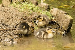 The cute factor - HFF! (Jo Evans1 - Off and on for a while) Tags: cute ducklings clyne gardens swansea fence friday hff