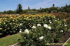 San Jose Municipal Rose Garden (Narwal) Tags: municipal rose garden sanjose bayarea ca california usa us naglee dana ave 美國 加州 灣區 聖荷西
