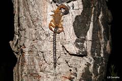 Buthidae, Rhopalurus crassicauda predating a Scolopendromorphae centipede (aracnologo) Tags: bonfim roraima scolopendromorphae centipede buthidae rhopaluruscrassicauda rhopalurus crassicauda amazonbiome amazônia amazon amazonia