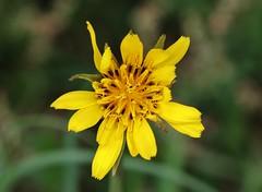 Wild Flower (Hugo von Schreck) Tags: hugovonschreck flower blume blüte wildblume wildflower macro makro tamron28300mmf3563divcpzda010 canoneos5dsr