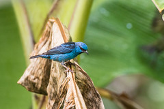 9K0A8915 Blue Dacnis, Dacnis cayana. (jwsteffelaar) Tags: bluedacnis dacniscayana taxonomy:binomial=dacniscayana
