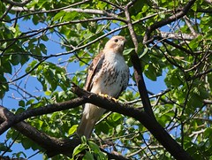 Christo (Goggla) Tags: nyc new york east village tompkins square park urban wildlife bird raptor red tail hawk adult male christo
