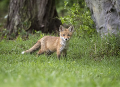 Curious Kit... (DTT67) Tags: redfox red fox kit pup animals mammal maryland forest wildlife nature nationalgeographic cute canon 1dxmkii 500mmii 14xiii