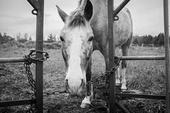 Elliott (JustJamieLeigh) Tags: horse horses equine equines ponies pony blackandwhite monochrome fuji fujix100t