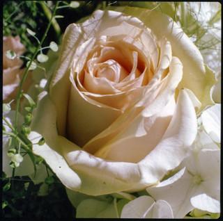 Instant rose