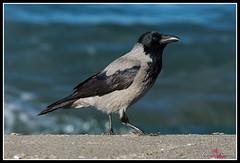 DSC_8322-Modifica SITO (torben84) Tags: sito corvidi corvi taccola cornacchia natura nature nikon d7200