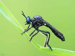 Robber fly (pen3.de) Tags: penf zuiko 60mmmakro wildlife naturlicht natur tier insekt fliege raubfliege blueeyes robber fly halm grashalm beine flügel fühler