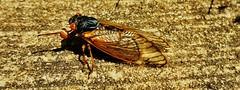Periodical Cicada 2017 (matthewbeziat) Tags: magicicadaseptendecim magicicada septendecim periodicalcicada marylandinsects americaninsects patuxentresearchrefuge patuxentresearchrefugesouthtract princegeorgescounty marylandwildlife americanwildlife