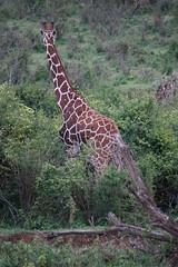 2017.05.20-DSC03428 (martin_kalfatovic) Tags: 2017 kenya laikipiacounty mpalaresearchcentre reticulatedgiraffe giraffacamelopardalisreticulata mpalaresearchcentrelaikipiacountykenya