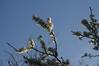 Schlehdorn (Prunus spinosa); Bergenhusen, Stapelholm (41)