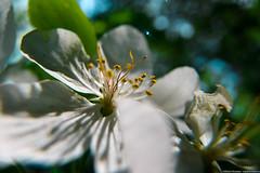 Appletree flower / Novosibirsk / Siberia / 28.05.2017 (mksystem) Tags: d600 koninin nikon novosibirsk siberia