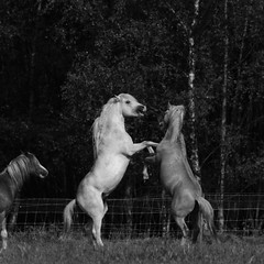 Horsing around (RW-V) Tags: canoneos70d canonef70300mmf456lisusm horse horses pferd pferde cheval chevaux paard paarden play jouer noiretblanc bw nb sw zw monochrome radiokootwijk apeldoorn 80faves 100faves 120faves 150faves 175faves 200faves 225faves 250faves 275faves 300faves 325faves 350faves 2500views 375faves 400faves 425faves