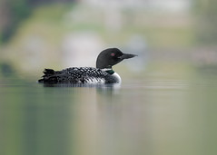 Plongeon Huard - Plongeon imbrin - Gavia immer - Common Loon (Anthony Fontaine photographe animalier) Tags: