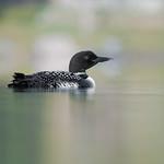 Plongeon Huard - Plongeon imbrin - Gavia immer - Common Loon thumbnail