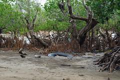 "La ""sale"" mangrove (Jan-Guy) Tags: polution saleté pneu mayotte"