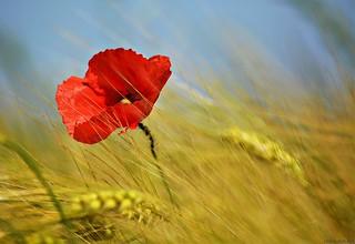Poppy flower in grain field #4