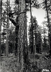 1933. James A. Beal removing bark from western pine beetle infested tree to determine emergence. Sisters, OR. (USDA Forest Service) Tags: usda usfs forestservice bureauofentomology forestinsectinvestigations foresthealthprotection stateandprivateforestry climbingspurs climbingrope treeclimbing bark dendroctonusbrevicomis westernpinebeetle emergence jamesabeal johnmwhiteside june1933 ps86 barkbeetle forestinsect forestentomology region6 r6 pacificnorthwestregion pnw
