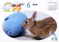June (Ichigo Miyama) Tags: 6月のカレンダー june calenderいちごさん。うさぎ ichigo san rabbitbunny netherlanddwarf brown ネザーランドドワーフ ペット いちご うさぎ 6月 カレンダー calender rabbit