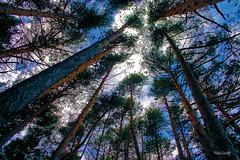 IMG_3616 (Rabadán Fotho) Tags: natura arboles trees contraluz contrapicado bosque árbol pinares naturaleza senderismo trekking backlighting