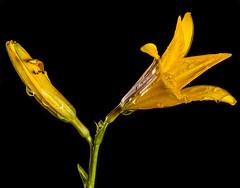 Yellow Lilly (dietmar-schwanitz) Tags: lilie lilly blume flower flowers pflanzen plants bedecktsamer liliaceae liliengewächse gelb yellow yellowonblack gelbaufschwarz farben colors colours focusstacking heliconfocus manfrotto sirui nikon nikond750 nikonafsmicronikkor105mmf28ged lightroom dietmarschwanitz