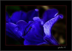 Blue Mood (the Gallopping Geezer '5.0' million + views....) Tags: flower bud bloom flowerbox planter mydeck blue bright cobalt rochesterhills mi michigan canon 100mm macro closeup geezer 2017