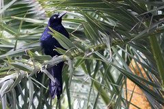 Great Tailed Grackle - Las Vegas 2016 (anorakin) Tags: crackle greattailedgrackle lasvegas themirage nevada 2016