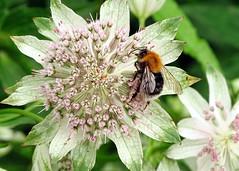 Pollinator (linda.addis) Tags: odc ourdailychallenge caringfor