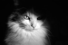 My Boy (LupaImages) Tags: cat feline face fur whiskers eyes pet animal