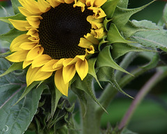 "Tournesol nain 2 • <a style=""font-size:0.8em;"" href=""http://www.flickr.com/photos/145164954@N03/34485032663/"" target=""_blank"">View on Flickr</a>"