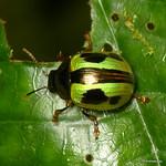 Leaf beetle, Platyphora sp.? thumbnail