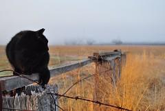 View from the fence, HFF (holly hop) Tags: fog foggy farm fence fencefriday farmfence cat blackcat
