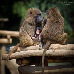 Pavian Familie (ab-planepictures) Tags: tiere animals affen monkey paviane baby kind nachwuchs zoom gelsenkirchen zoo