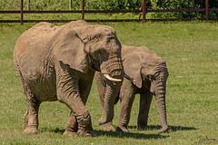 Lovely day for a elephant Walk (Tony_Brasier) Tags: elephants kent grass golden fun walking flickr fields fance zoo howletts hill sky hot day bluesky tamron lovely location nikon d7200 70300mm